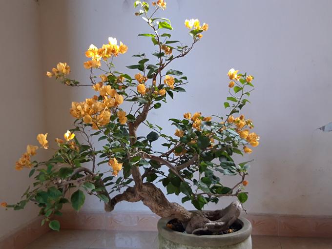 cay-bonsai-hoa-giay